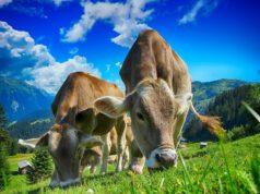 Kuh-Kühe-Allgäu-Vieh